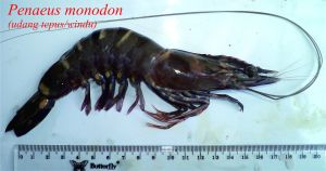 udang tepus windu 2- Penaeus monodon